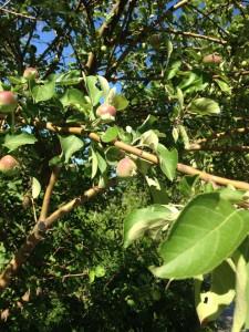 Freed Apple Tree